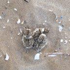 WhatsApp Image 2020 06 30 at 12 35 12 e1593514850903 144x144 Il fratino nidifica a Riccione buon segno per la spiaggia