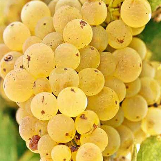Vini romagna trebbiano bollo vitigno Riccione Offerta Famiglie Numerose